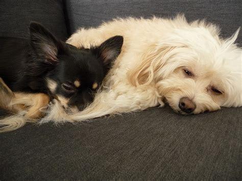 cani tranquilli da appartamento i migliori cani da appartamento tutto ze