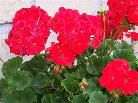 Geranium Flower Meaning - romantic flowers geranium flower