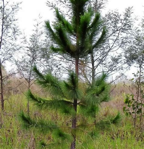 who introduced the tree pine tree may look christmassy but it s no present news