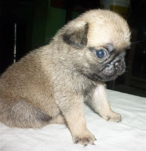 haired pug puppies puppy dogs pug puppies