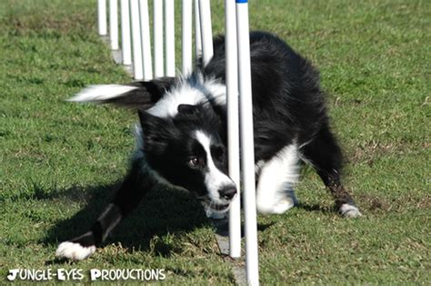 how to a for agility trials photo