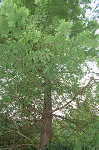 cypress tree images