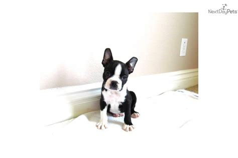puppies for sale in san diego ca boston terrier puppy for sale near san diego california 7d6080da 5c81