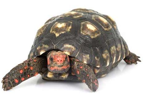 tartaruga lada antynoble 2011 znamy zwycięzc 243 w joe
