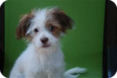 rat terrier shih tzu mix shih tzurat terrier mix breeds picture
