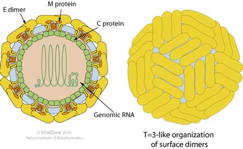 m protein virus virion