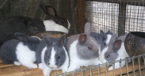 Harga Lop Translate by Yuki Rabbits Kelinci Depok Jual Anakan Kelinci Laku