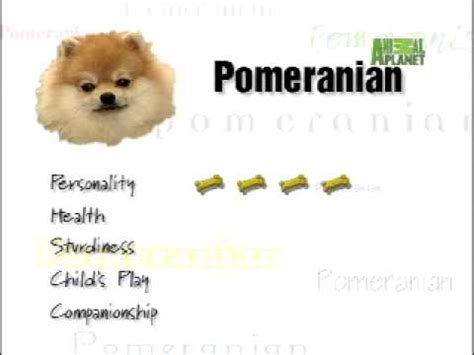 all about pomeranian all you need to about pomeranians funnydog tv