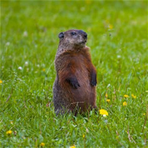 how to get rid of a groundhog in my backyard how to get rid of groundhogs