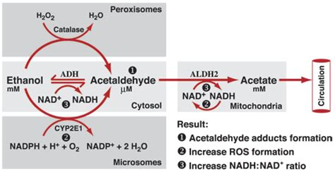 Acetaldehyde Detox by How Is Metabolized In The Human