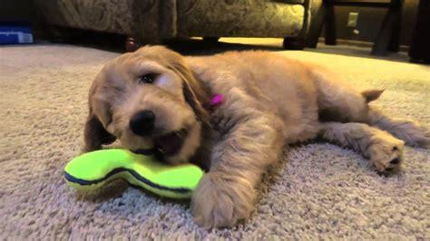 goldendoodle puppy week by week goldendoodle puppy bailee 8 weeks