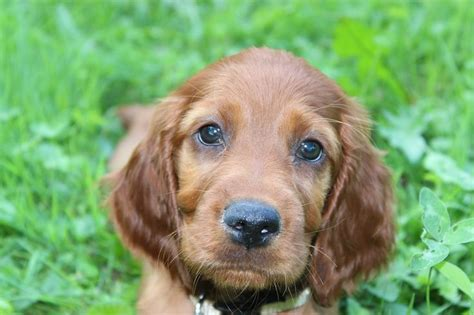 My irish setter girl puppy 8 weeks | Irish setter | Pinterest