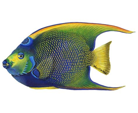 Wall Stickers Make Your Own queen angelfish mural wallsofthewild com