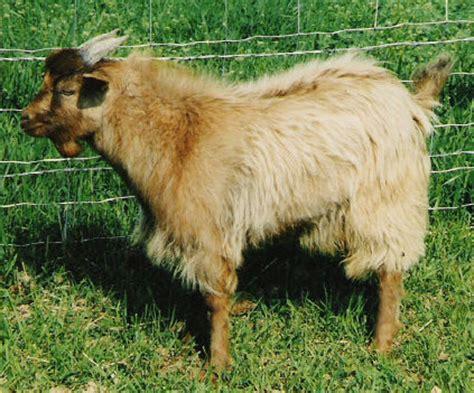 goat colors color chart goat spots