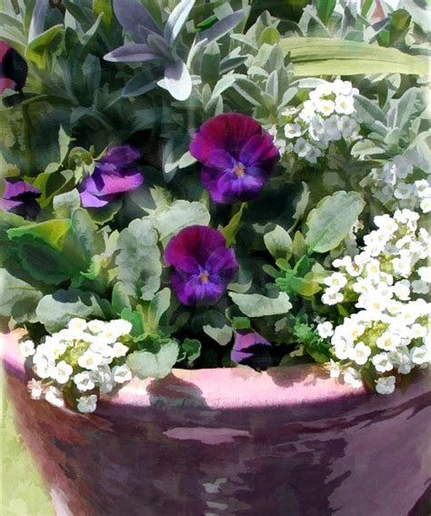 Purple Planter by Planter Of Purple Pansies And White Alyssum Painting By