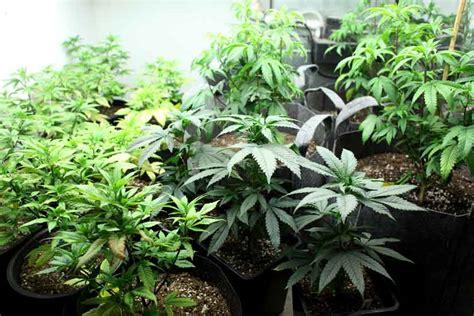 cultivo interior ventajas y desventajas de cultivar marihuana cultivo en