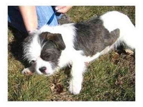 bulldog shih tzu mix for sale bulldog mix with shih tzu breeds picture