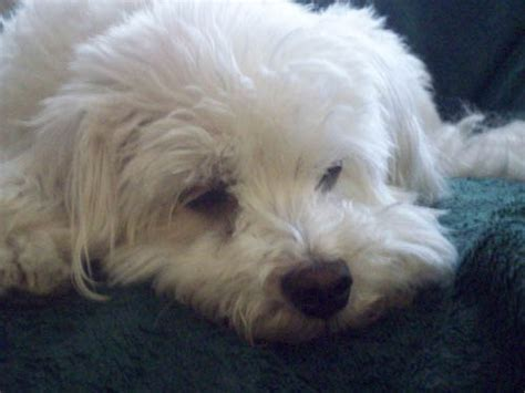 coco dog i can t believe my pet dog coco is gone i love you coco