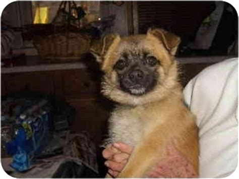 pugs for adoption in ct this is shea the pomeranian mini australian shepherd puppy he images frompo