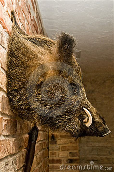 wild boars head  wall royalty  stock  image