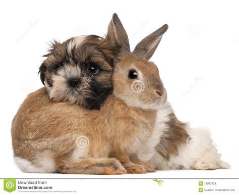 shih tzu beige shih tzu and rabbit stock photo image of isolated beige 17952724