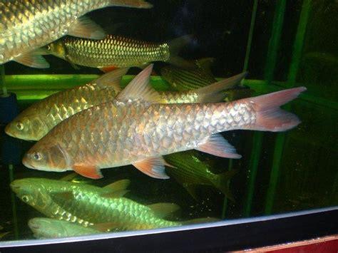 ikan kelah portal berita eksklusif ikan kelah dan 17 best images about ikan kelah on pinterest taman