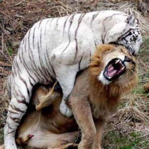 imagenes de leones feroces los impresionantes ataques entre animales salvajes