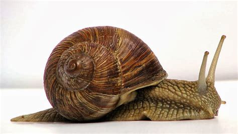 Snail L by What Is A Mollusk And Types Of Mollusks Ency123