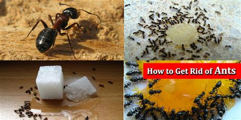 how to get rid of ants and insects home remedies