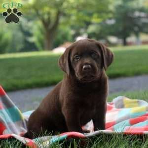 lab puppies for sale in delaware chocolate lab puppies for sale in pa greenfield puppies