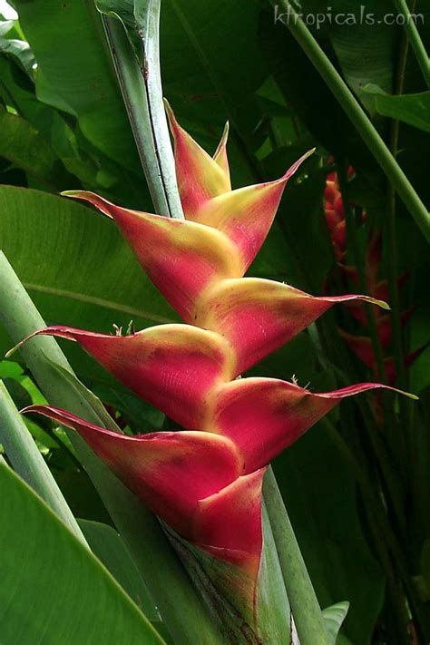 plants and flowers kalani tropicals learn about heliconia plants and flowers