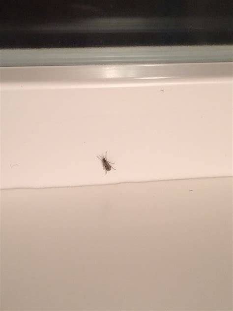 little black gnats in my bathroom what kind of insect or fly is this ask an expert