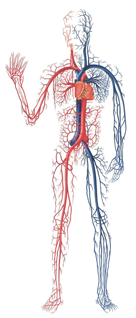 cardiovascular system kaylacastaneda