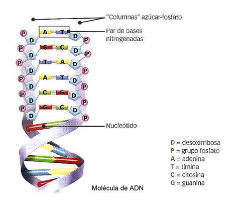 biolog 205 a 3 186 secundaria el adn como la mol 233 cula portadora - Cadena De Adn De 15 Nucleotidos