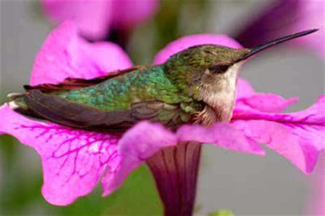 sleeping hummingbird 7 amazing facts about hummingbirds