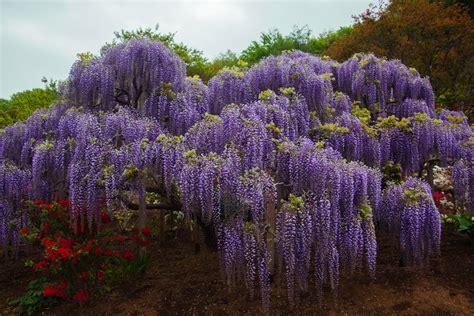 wisteria tunnels tokyo the ultimate guide to the whimsical wisteria tunnels of