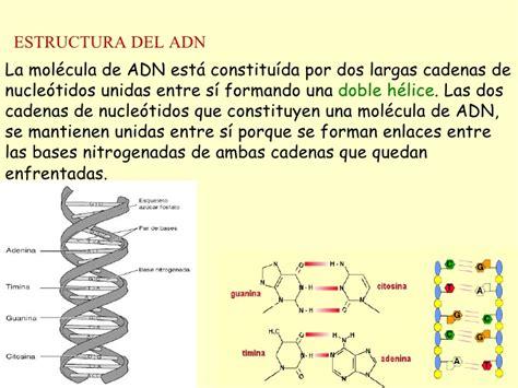 cadenas de adn complementarias adn replica transcr traducc
