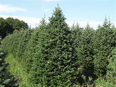 500 balsam fir tree seeds grow christmas trees abies