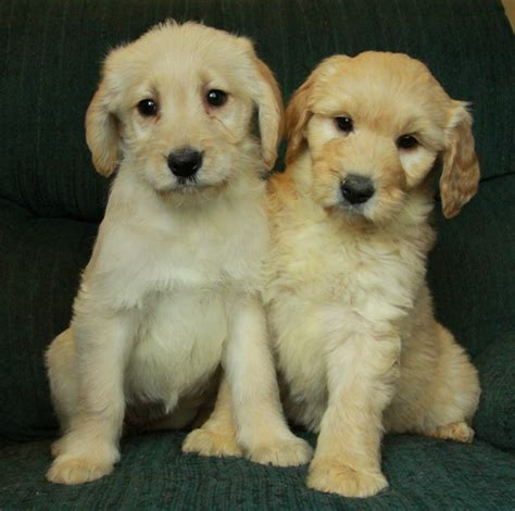 goldendoodle puppies for sale canada goldendoodle puppies enjoy the snow puppies for sale