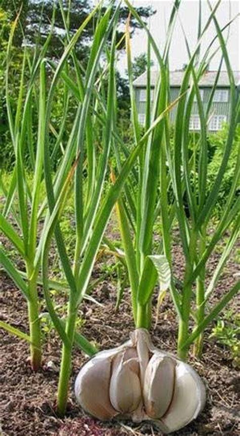 Obat Herbal Sesak Nafas Pada Ayam tanaman herbal bawang putih allium sativum