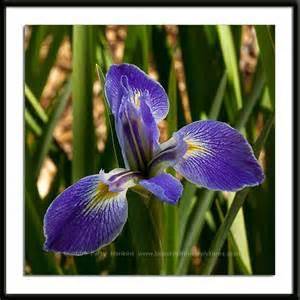 blue flag iris related keywords amp suggestions blue flag iris long tail keywords