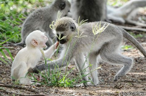 nicko the tale of a vervet monkey on an farm books ververt monkey africa geographic