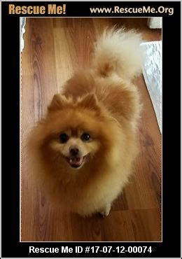 pomeranian puppies for adoption in pa pennsylvania pomeranian rescue adoptions rescueme org