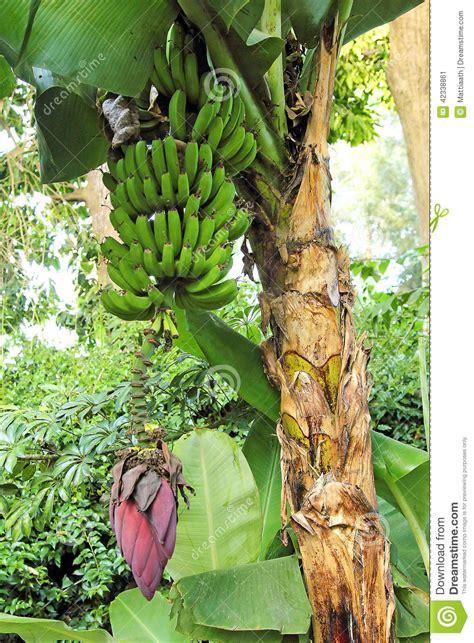 when do banana trees fruit banana tree with fruits stock photo image 42338861