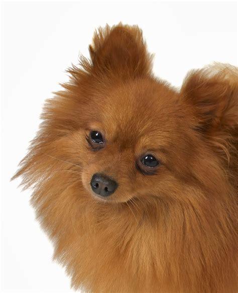 why do pomeranians so much pomeranian dogs behaviour
