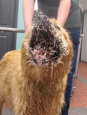 dog will only eat out of my hand dog vs porcupine same winner every time vetzinsight vin