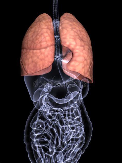 organi interni uomo raggi x degli organi interni polmoni illustrazione di