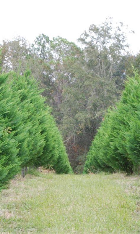 arizona cypress xmas tree 768x1280 wallpaper