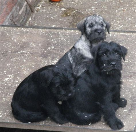 standard schnauzer puppies standard schnauzer puppies retford nottinghamshire pets4homes