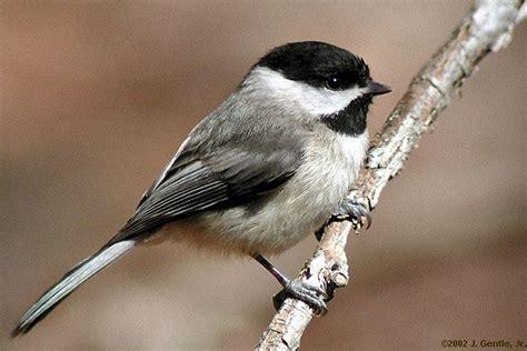 carolina chickadee riverwalk bird of the week